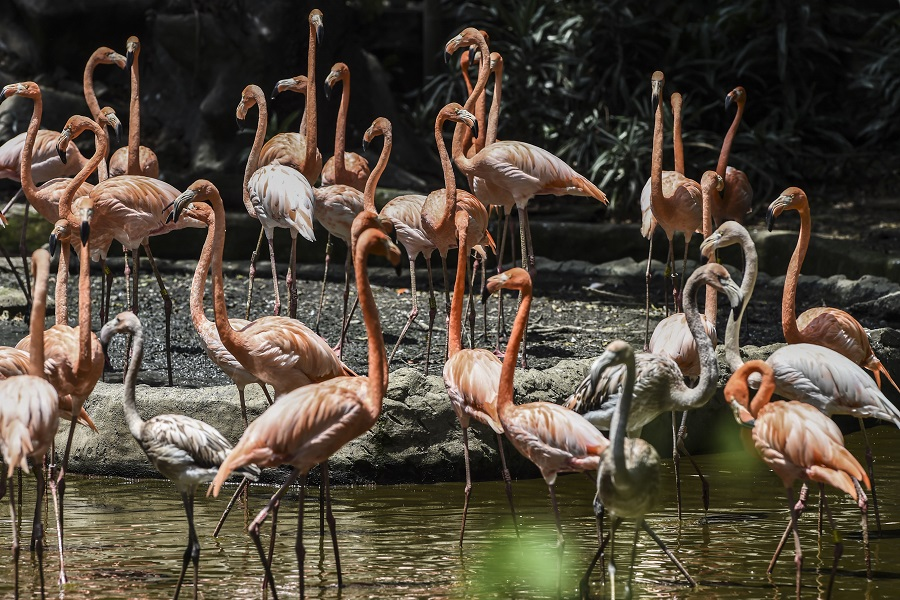 Flamingos are seen at the Santa Fe zoo in Medellin, Colombia, on April 3, 2020. - Colombian zoos are suffering their compulsory closure due to the new coronavirus pandemic. In the case of the Santa Fe zoo, its operation is covered until the beginning of May. (Photo by JOAQUIN SARMIENTO / AFP)