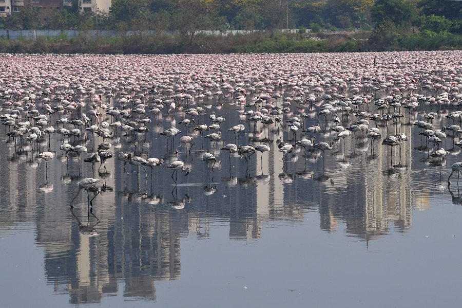 Flamingos are seen in a pond during a government-imposed nationwide lockdown as a preventive measure against the spread of the COVID-19 coronavirus in Navi Mumbai on April 20, 2020. (Photo by INDRANIL MUKHERJEE / AFP)